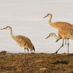 Sand Hill Cranes, Yellowstone by DG House